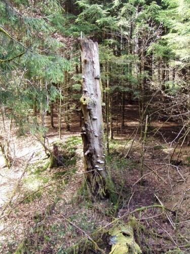 abgestorbener Baumstamm mit Pilzbewuchs