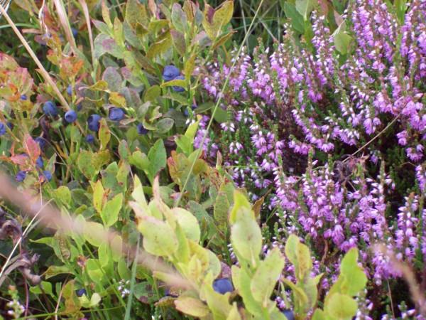 Blühende Heide und Blaubeeren