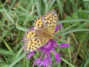 Schmetterling auf einer Flockenblume