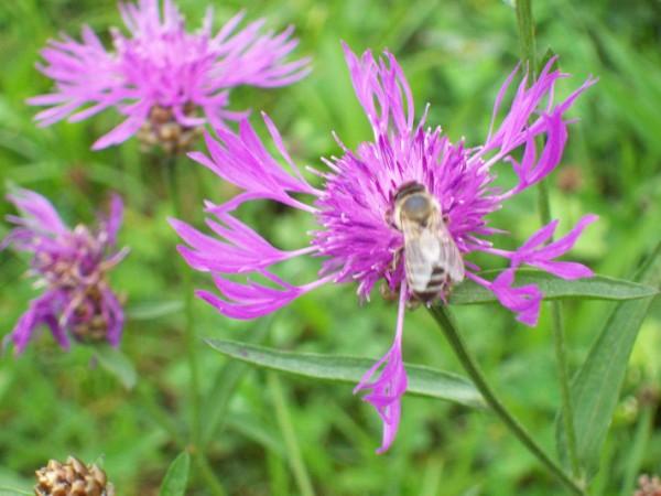 ... auf dem Rückweg gingen wir noch an einer Wiese mit Flockenblumen vorbei, auch diese Biene fand an den schönen lila - farbenen Blumen ihr Gefallen!