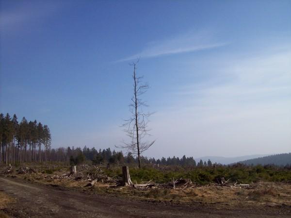 Einsamer Baum in weiter Flur,vergessen, ihn zu fällen? Keineswegs, er dient z.B. den nachtaktiven Vögeln als Standort