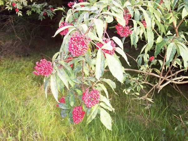 Sambucus racemosa, so der botanische Name, uns bekannt als Trauben-Holunder
