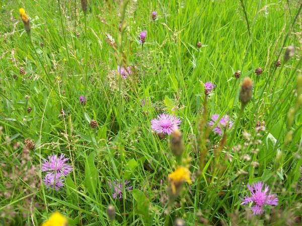 Acker-Witwenblume und Wiesenbocksbart