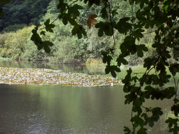 Erster Blick auf den Teich mit seinen Seerosen!