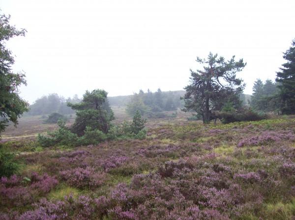 Weite, blühende Heideflächen, auch bei Regenwetter schön!