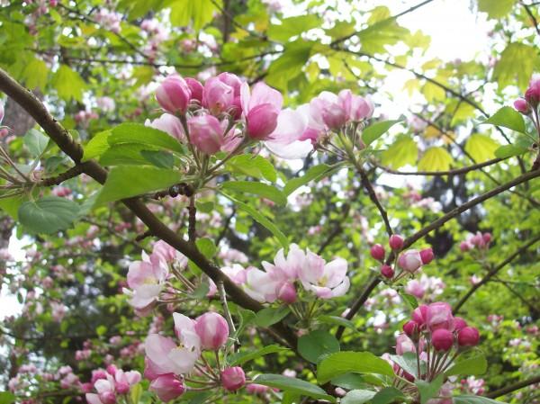 Blüten eines wilden Apfelbaumes mitten im Wald am Aufstieg zum Kindelsberg