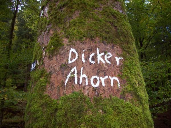 """""""Dicker Ahorn"""" und """"Dicke Eiche"""" zwei ganz imposante Bäume"""