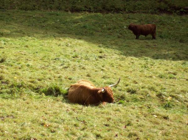 Rinder auf einer Wiese im Tal - so schön wie die Wiesente