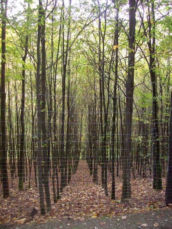 """""""Laubholzdickung im Zaun"""", die akkurat gepflanzten Buchen und Bergahorn"""