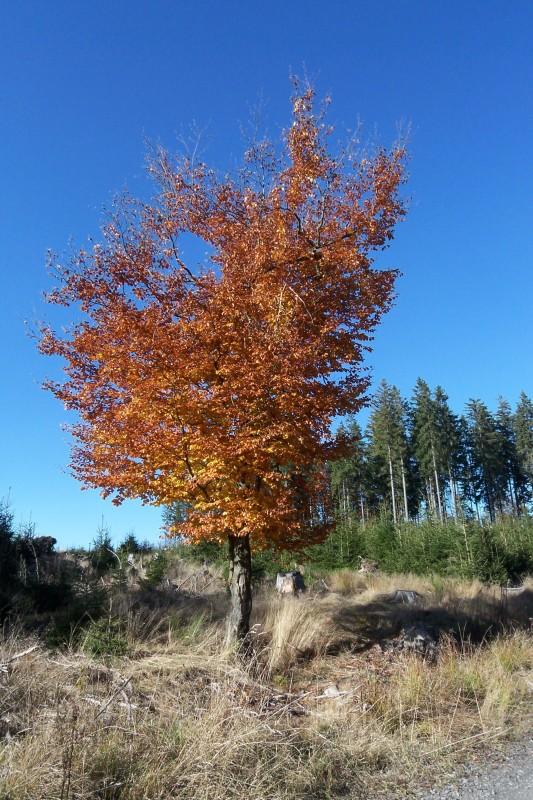 Ein wundervoll gefärbter Buchenbaum