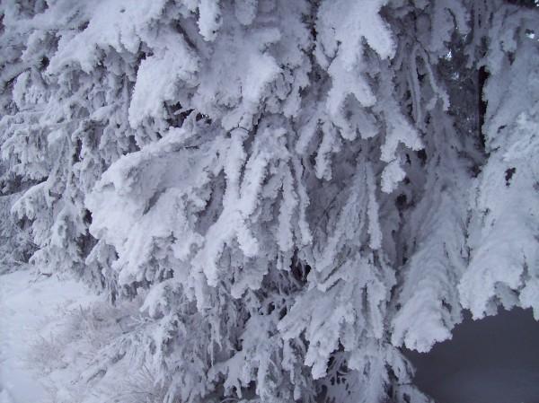 """Durch Schnee und Frost """"überzuckerte Zweige"""""""