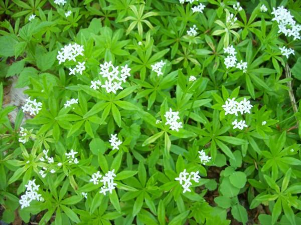 In der Blüte - frischer Waldmeister