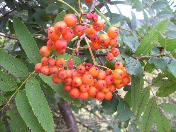 Die kleinen roten prallen Beerchen der Eberesche, so schön anzuschauen und doch so giftig
