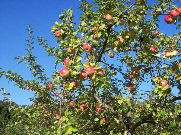 Da konnte man schon in Versuchung geraten, leckere Äpfel direkt vom Baum
