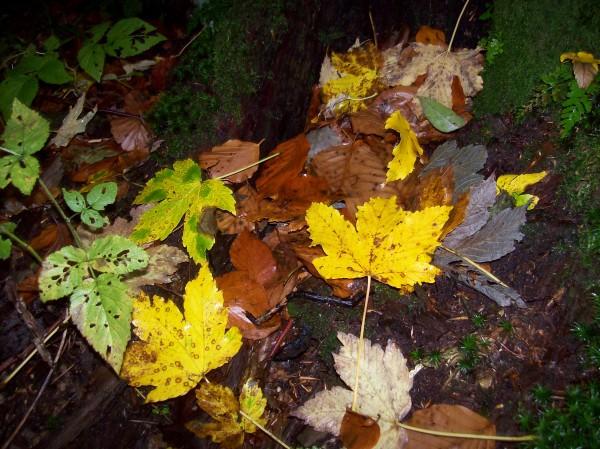 Herbstboten, viele gefallene, bunte Blätter auf unserem Weg