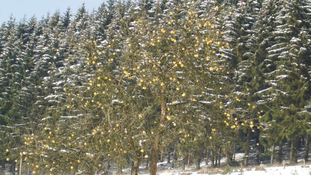 Letzte Früchte am Apfelbaum beim ersten Schnee