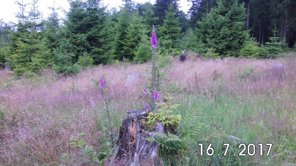 Stolze Schönheit auf einem Baumstumpf, der gerade gewachsene Fingerhut, so schön und so giftig