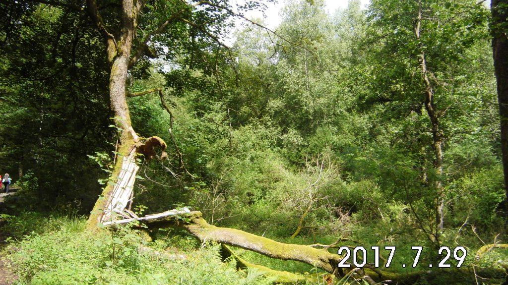 Blitzeinschlag, trotz der Verletzung lebt der Baum weiter