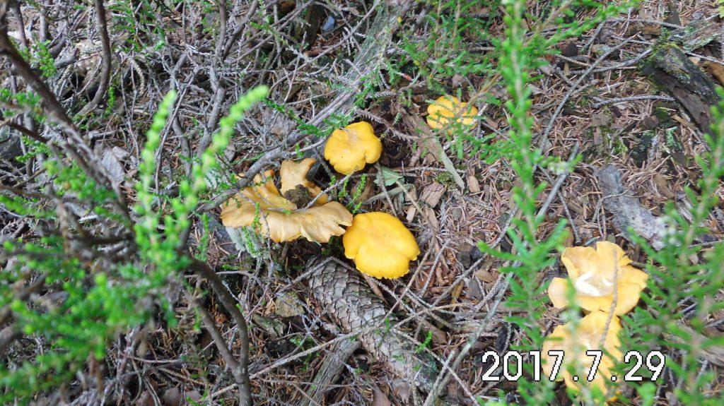 Wir sind auch schon da, verwegen recken die kleinen Pfifferlinge ihre Köpfchen aus dem Gras - alles eine Frage der Zeit meint der passionierte Pilzesammler