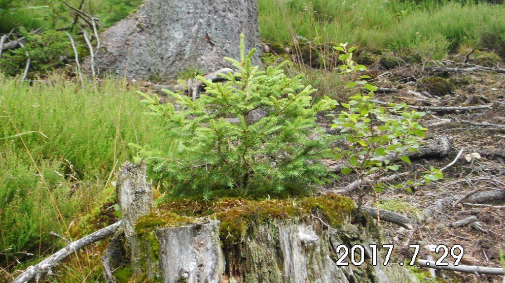 Neues Leben auf einem alten Baumstumpf, Fichte und kleine Birke im Einklang
