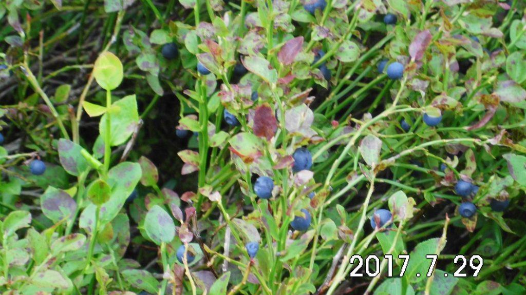 Köstlichkeiten in der Ginsberger Heide: Heidelbeeren