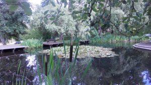 Der wundervolle Seerosenteich im Schloßpark mit bereits erblühten Pflanzen
