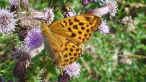Nicht nur Wanderer waren bei diesem Wetter unterwegs, auch viele Schmetterling machten einen Ausflug wie hier der Distelfalter