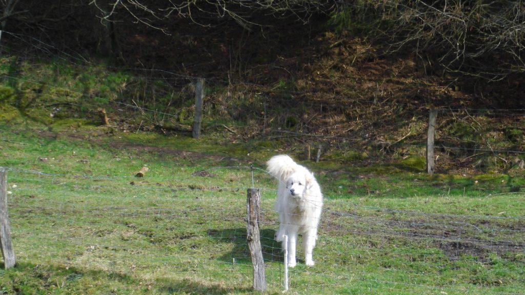 Ein Pyrenäenberghund bewachte seine Herde