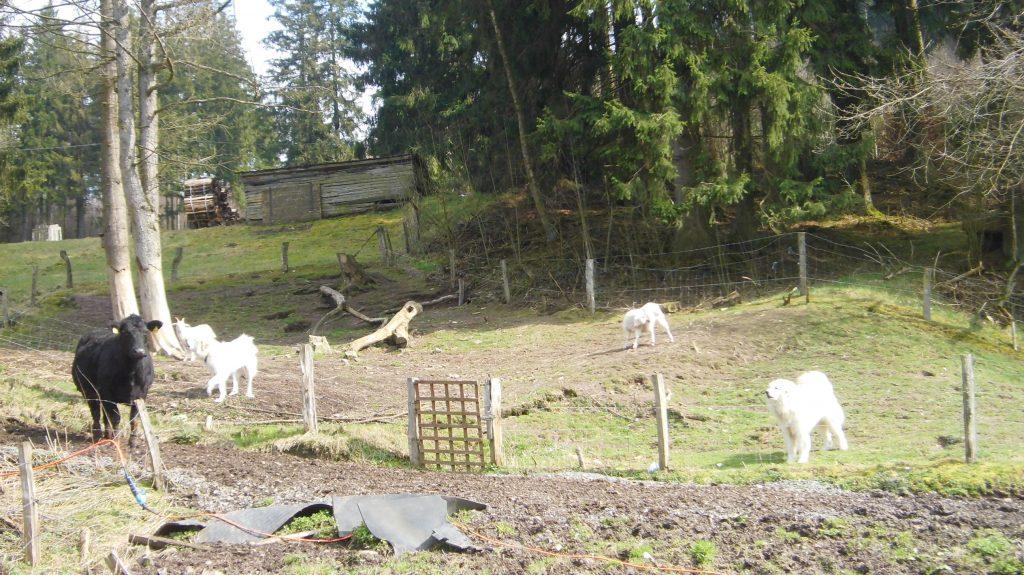 Kaum zu unterscheiden, die Ziegen und die großen Hütehunde